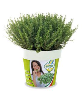 Pi sapore produzione piante e erbe aromatiche in vaso for Erbe aromatiche in vaso